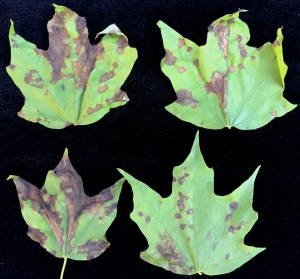 Anthracnose of maple