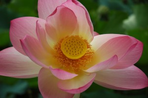 Lotus blossom with fill light