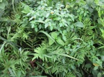 Jewelweed and ferns