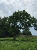 Black Walnut Tree( Juglans nigra)