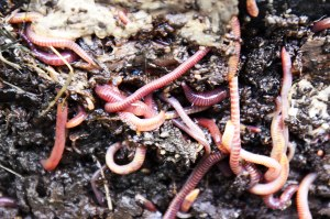 Earthworms
