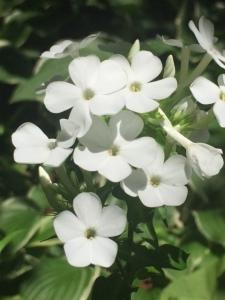 Closeup of white Phlox paniculata, garden phlox flowers