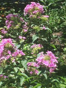 Phlox paniculata, Pink Garden Phlox