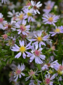 Symphyotrichum cordifolium, Blue Wood or Heart-leaved Aster