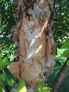 The exfoliating bark of river birch reveals multiple colorful layers.
