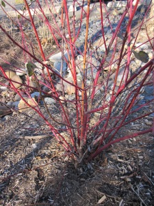 The bare branches of red twig dogwood turn a bright red in winter time.