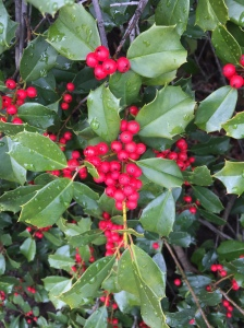 Fruit of American holly supports birds such as the cardinal, American robin and eastern bluebird.