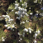 Female trees of eastern red cedar have bluish flowers in the spring and blue berry-like cones in the fall.
