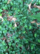 Partridgeberry forms a dense mat of evergreen leaves.