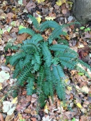 Christmas fern stands out against fallen leaves through the winter.