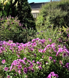Profusion of asters