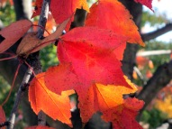 Acer rubrum, Red Maple