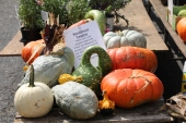 Knucklehead pumpkins just in time for Halloween
