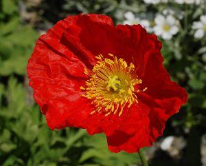 Iceland Poppy at Teacup garden in Chanticleer Garden