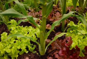 Intercropping Vegetables