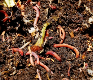 Worms converting kitchen scraps to compost.