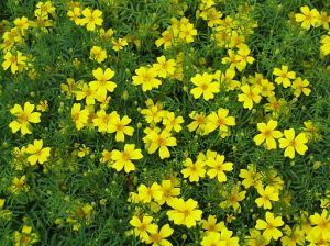 Tagetes tenuifolia - Lemon gem marigold