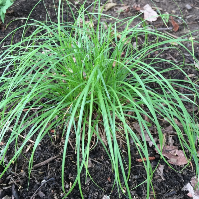 Clump of Carex pensylvanica (Pennsylvania sedge)