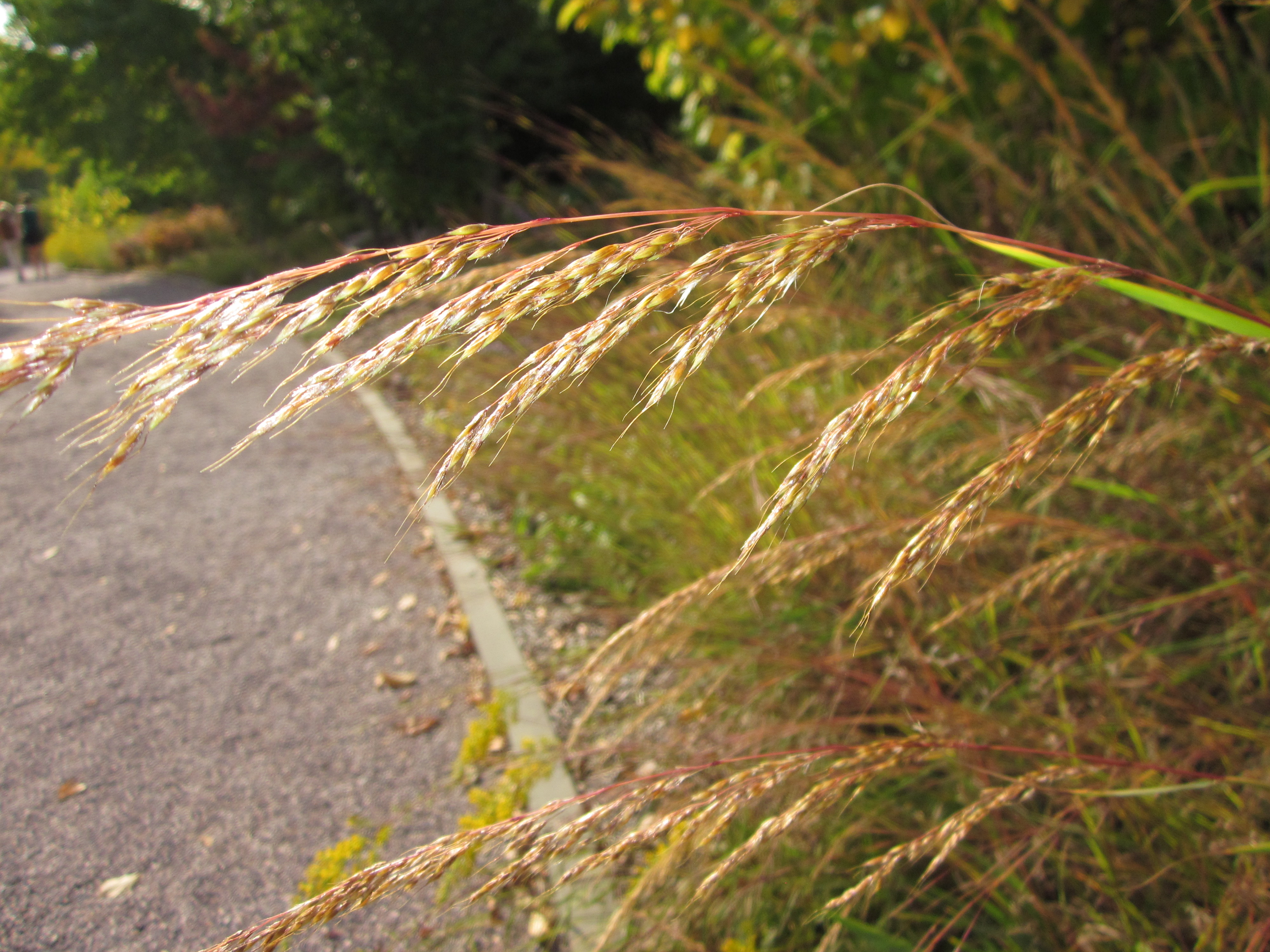 Grasses vs. Sedges | Master Gardeners of Northern Virginia