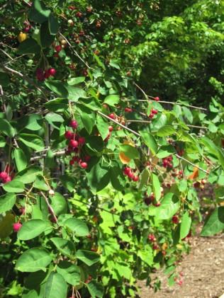 Amelanchier arborea, (Downy Serviceberry) with pomes Photo © Elaine Mills