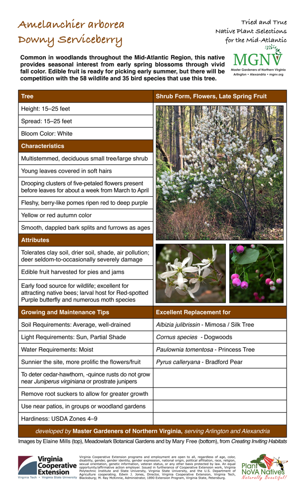 Amelanchier arborea, Downy Serviceberry Tree –  Height: 15–25 feet, Spread: 15–25 feet, Bloom Color: White  Charactistics  -  Multistemmed, deciduous small tree/large shrub,  Young leaves covered in soft hairs,  Drooping clusters of five-petaled flowers present before leaves for about a week from March to April,  Fleshy, berry-like pomes ripen red to deep purple,  Yellow or red autumn color, Smooth, dappled bark splits and furrows as ages,   Attributes –  Tolerates clay soil, drier soil, shade, air pollution; deer seldom-to-occasionally severely damage,  Edible fruit harvested for pies and jams,  Early food source for wildlife; excellent for attracting native bees; larval host for Red-spotted Purple butterfly and numerous moth species   Growing and Maintenance Tips –  Soil Requirements: Average, well-drained,  Light Requirements: Sun, Partial Shade, Water Requirements: Moist, Sunnier the site, more prolific the flowers/fruit, To deter cedar-hawthorn, -quince rusts do not grow near Juniperus virginiana or prostrate junipers, Remove root suckers to allow for greater growth, Use near patios, in groups or woodland gardens, Hardiness: USDA Zones 4–9 Excellent  Replacement for  Albizia julibrissin Mimosa / Silk Tree, Cornus species - Dogwoods, Paulownia tomentosa - Princess Tree,  Pyrus calleryana - Bradford Pear