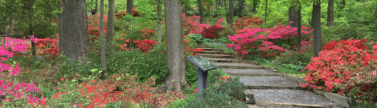 Azaleas understory at the National Arboretum