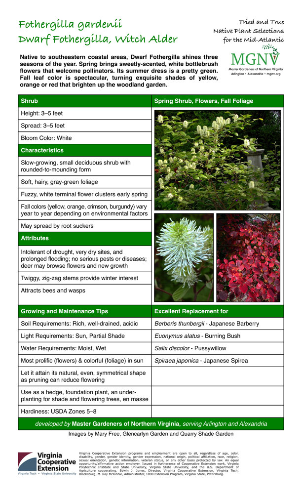Fothergilla gardenii, Dwarf Fothergilla, Witch Alder, Shrub Spring Shrub, Flowers, Fall Foliage Height: 3–5 feet Spread: 3–5 feet Bloom Color: White Characteristics Slow-growing, small deciduous shrub with rounded-to-mounding form Soft, hairy, gray-green foliage Fuzzy, white terminal flower clusters early spring Fall colors (yellow, orange, crimson, burgundy) vary year to year depending on environmental factors May spread by root suckers Attributes Intolerant of drought, very dry sites, and prolonged flooding; no serious pests or diseases; deer may browse flowers and new growth Twiggy, zig-zag stems provide winter interest Attracts bees and wasps Growing and Maintenance Tips Soil Requirements: Rich, well-drained, acidic Light Requirements: Sun, Partial Shade Water Requirements: Moist, Wet Most prolific (flowers) & colorful (foliage) in sun Let it attain its natural, even, symmetrical shape as pruning can reduce flowering Use as a hedge, foundation plant, an under- planting for shade and flowering trees, en masse Hardiness: USDA Zones 5–8 Excellent Replacement for Berberis thunbergii - Japanese Barberry Euonymus alatus - Burning Bush Salix discolor - Pussywillow Spiraea japonica - Japanese Spirea