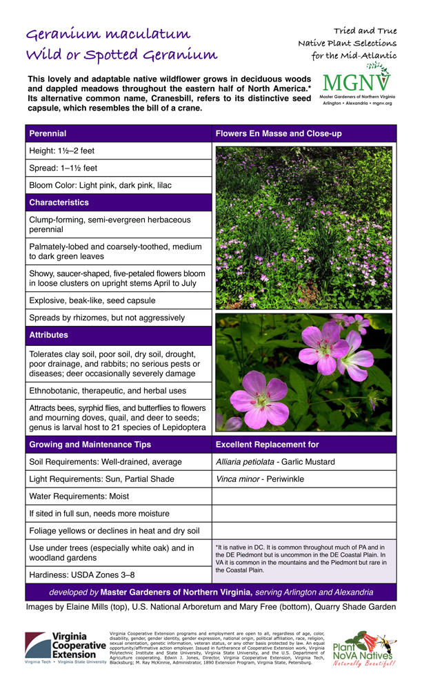 Geranium Maculatum, Wild or Spotted Geranium, Perennial Height: 11⁄2–2 feet               Spread: 1–11⁄2 feet Bloom Color: Light pink, dark pink, lilac  Characteristics Clump-forming, semi-evergreen herbaceous perennial Palmately-lobed and coarsely-toothed, medium to dark green leaves Showy, saucer-shaped, five-petaled flowers bloom in loose clusters on upright stems April to July Explosive, beak-like, seed capsule Spreads by rhizomes, but not aggressively  Attributes Tolerates clay soil, poor soil, dry soil, drought, poor drainage, and rabbits; no serious pests or diseases; deer occasionally severely damage Ethnobotanic, therapeutic, and herbal uses Attracts bees, syrphid flies, and butterflies to flowers and mourning doves, quail, and deer to seeds; genus is larval host to 21 species of Lepidoptera  Growing and Maintenance Tips Soil Requirements: Well-drained, average Light Requirements: Sun, Partial Shade Water Requirements: Moist If sited in full sun, needs more moisture Foliage yellows or declines in heat and dry soil Use under trees (especially white oak) and in woodland gardens  Excellent Replacement for  Alliaria petiolata - Garlic Mustard  Vinca minor - Periwinkle  *It is native in DC. It is common throughout much of PA and in the DE Piedmont but is uncommon in the DE Coastal Plain. In VA it is common in the mountains and the Piedmont but rare in the Coastal Plain.
