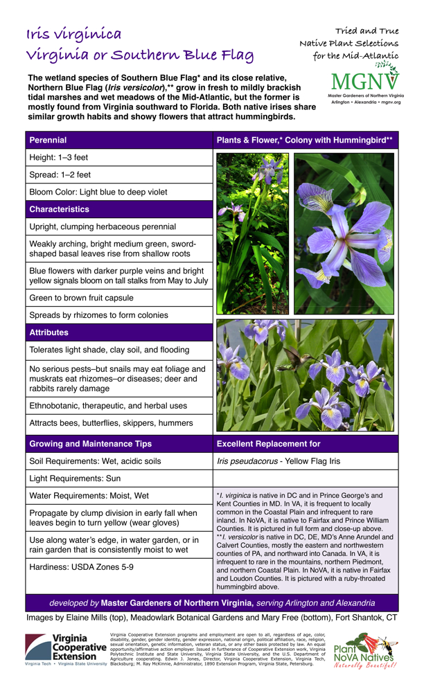 Iris virginica, Virginia Blue Flag, Perennial Plants & Flower,* Colony with Hummingbird** Height: 1–3 feet Spread: 1–2 feet Bloom Color: Light blue to deep violet Characteristics Upright, clumping herbaceous perennial Weakly arching, bright medium green, sword- shaped basal leaves rise from shallow roots Blue flowers with darker purple veins and bright yellow signals bloom on tall stalks from May to July Green to brown fruit capsule Spreads by rhizomes to form colonies Attributes Tolerates light shade, clay soil, and flooding No serious pests–but snails may eat foliage and muskrats eat rhizomes–or diseases; deer and rabbits rarely damage Ethnobotanic, therapeutic, and herbal uses Attracts bees, butterflies, skippers, hummers Growing and Maintenance Tips Soil Requirements: Wet, acidic soils Light Requirements: Sun Water Requirements: Moist, Wet Propagate by clump division in early fall when leaves begin to turn yellow (wear gloves) Use along water's edge, in water garden, or in rain garden that is consistently moist to wet Hardiness: USDA Zones 5-9 Excellent Replacement for Iris pseudacorus - Yellow Flag Iris *I. virginica is native in DC and in Prince George's and Kent Counties in MD. In VA, it is frequent to locally common in the Coastal Plain and infrequent to rare inland. In NoVA, it is native to Fairfax and Prince William Counties. It is pictured in full form and close-up above. **I. versicolor is native in DC, DE, MD's Anne Arundel and Calvert Counties, mostly the eastern and northwestern counties of PA, and northward into Canada. In VA, it is infrequent to rare in the mountains, northern Piedmont, and northern Coastal Plain. In NoVA, it is native in Fairfax and Loudon Counties. It is pictured with a ruby-throated hummingbird above.