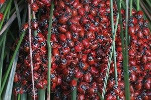 Hippodamia convergens—convergent lady beetle.