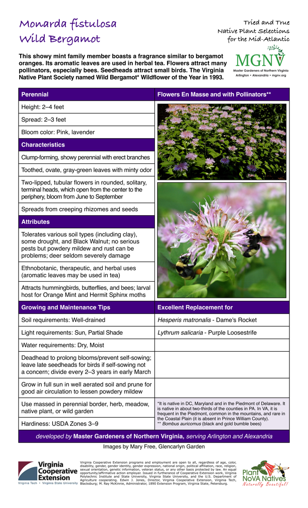 Monarda fistulosa, Wild Bergamot, Perennial Height: 2–4 feet            Spread: 2–3 feet Bloom color: Pink, lavender  Characteristics Clump-forming, showy perennial with erect branches Toothed, ovate, gray-green leaves with minty odor Two-lipped, tubular flowers in rounded, solitary, terminal heads, which open from the center to the periphery, bloom from June to September Spreads from creeping rhizomes and seeds  Attributes Tolerates various soil types (including clay), some drought, and Black Walnut; no serious pests but powdery mildew and rust can be problems; deer seldom severely damage Ethnobotanic, therapeutic, and herbal uses (aromatic leaves may be used in tea) Attracts hummingbirds, butterflies, and bees; larval host for Orange Mint and Hermit Sphinx moths  Growing and Maintenance Tips Soil requirements: Well-drained Light requirements: Sun, Partial  ShadeWater requirements: Dry, MoistDeadhead to prolong blooms/prevent self-sowing; leave late seedheads for birds if self-sowing not a concern; divide every 2–3 years in early March Grow in full sun in well aerated soil and prune for good air circulation to lessen powdery mildew Use massed in perennial border, herb, meadow, native plant, or wild garden  Excellent Replacement for  Hesperis matronalis - Dame's Rocket Lythrum salicaria - Purple Loosestrife  *It is native in DC, Maryland and in the Piedmont of Delaware. It is native in about two-thirds of the counties in PA. In VA, it is frequent in the Piedmont, common in the mountains, and rare in the Coastal Plain (it is absent in Prince William County). ** Bombus auricomus (black and gold bumble bees) Hardiness: USDA Zones 3–9