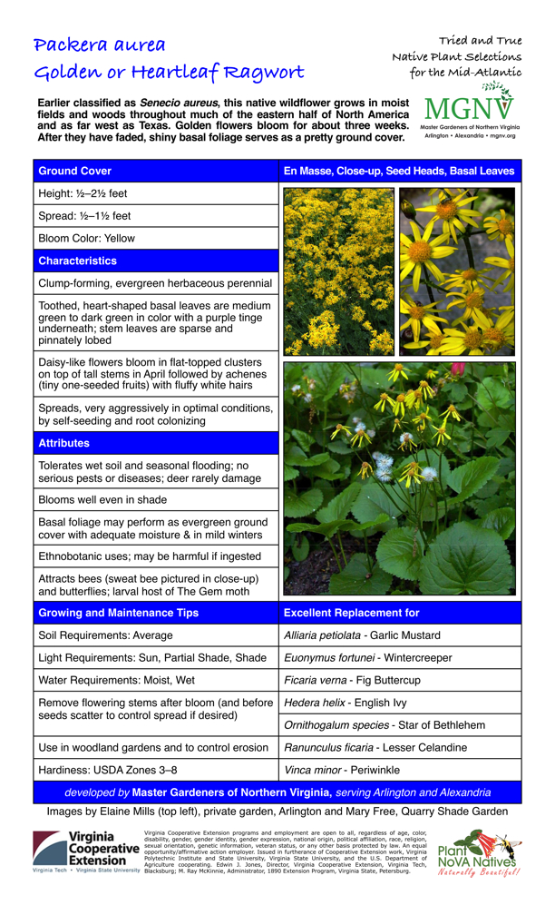 Packera aurea, Golden Ragwort, Ground Cover Height: 1⁄2–21⁄2 feet Spread: 1⁄2–11⁄2 feet Bloom Color: Yellow Characteristics Clump-forming, evergreen herbaceous perennial Toothed, heart-shaped basal leaves are medium green to dark green in color with a purple tinge underneath; stem leaves are sparse and pinnately lobed Daisy-like flowers bloom in flat-topped clusters on top of tall stems in April followed by achenes (tiny one-seeded fruits) with fluffy white hairs Spreads, very aggressively in optimal conditions, by self-seeding and root colonizing Attributes Tolerates wet soil and seasonal flooding; no serious pests or diseases; deer rarely damage Blooms well even in shade Basal foliage may perform as evergreen ground cover with adequate moisture & in mild winters Ethnobotanic uses; may be harmful if ingested Attracts bees, butterflies; larval host of The Gem moth Growing and Maintenance Tips Soil Requirements: Average Light Requirements: Sun, Partial Shade, Shade Water Requirements: Moist, Wet Remove flowering stems after bloom (and before seeds scatter to control spread if desired) Use in woodland gardens and to control erosion Hardiness: USDA Zones 3–8 Excellent Replacement for Alliaria petiolata - Garlic Mustard Euonymus fortunei - Wintercreeper Ficaria verna - Fig Buttercup Hedera helix - English Ivy Ornithogalum species - Star of Bethlehem Ranunculus ficaria - Lesser Celandine Vinca minor – Periwinkle