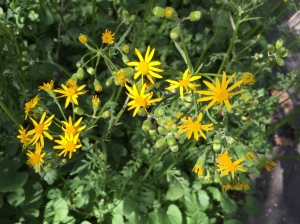Packera aurea, Golden Ragwort