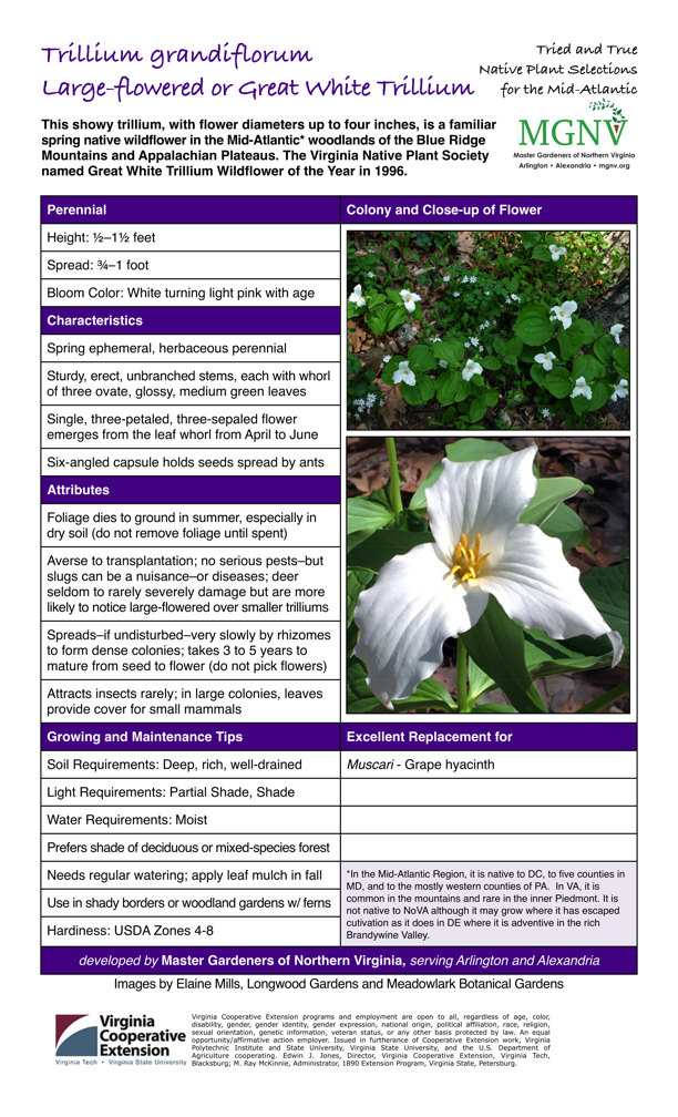Trillium grandiflorum, Wood Lily, Great White Trillium, Perennial Height: 1⁄2–11⁄2 feet             Spread: 3⁄4–1 foot Bloom Color: White turning light pink with age  Characteristics Spring ephemeral, herbaceous perennial Sturdy, erect, unbranched stems, each with whorl of three ovate, glossy, medium green leaves Single, three-petaled, three-sepaled flower emerges from the leaf whorl from April to June Six-angled capsule holds seeds spread by ants  Attributes Foliage dies to ground in summer, especially in dry soil (do not remove foliage until spent) Averse to transplantation; no serious pests–but slugs can be a nuisance–or diseases; deer seldom to rarely severely damage but are more likely to notice large-flowered over smaller trilliums Spreads–if undisturbed–very slowly by rhizomes to form dense colonies; takes 3 to 5 years to mature from seed to flower (do not pick flowers) Attracts insects rarely; in large colonies, leaves provide cover for small mammals  Growing and Maintenance Tips Soil Requirements: Deep, rich, well-drained Light Requirements: Partial Shade, Shade Water Requirements: Moist Prefers shade of deciduous or mixed-species forest Needs regular watering; apply leaf mulch in fall Use in shady borders or woodland gardens w/ ferns Hardiness: USDA Zones 4-8   Excellent Replacement for  Muscari - Grape hyacinth  *In the Mid-Atlantic Region, it is native to DC, to five counties in MD, and to the mostly western counties of PA. In VA, it is common in the mountains and rare in the inner Piedmont. It is not native to NoVA although it may grow where it has escaped cutivation as it does in DE where it is adventive in the rich Brandywine Valley.