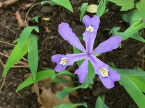 Iris cristata, Dwarf Crested Iris