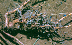 Pine (slash pine) mycorrhizae 6 Sep 1964 photo: E. E. Trujillo