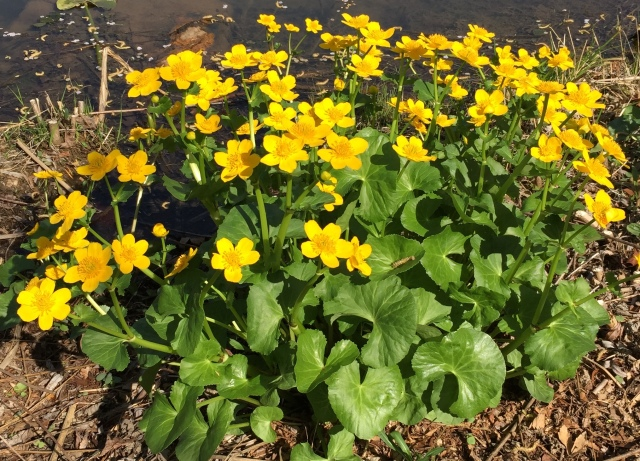 Caltha palustris at water's edge