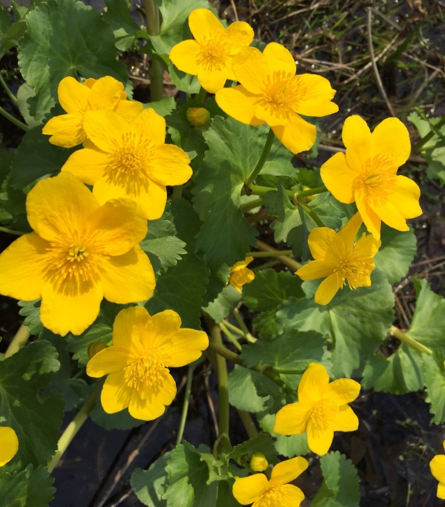 Buttercup-like flowers of marsh marigold