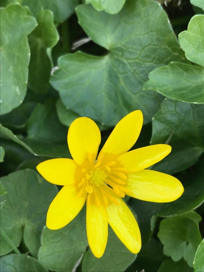 Distinct center of lesser celandine flower