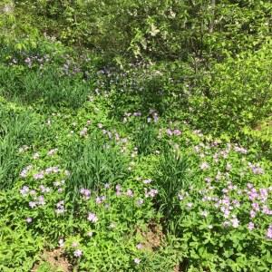 Geranium maculatum, Wild or Spotted Geranium - May bloom