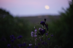 purple flowers at twilight