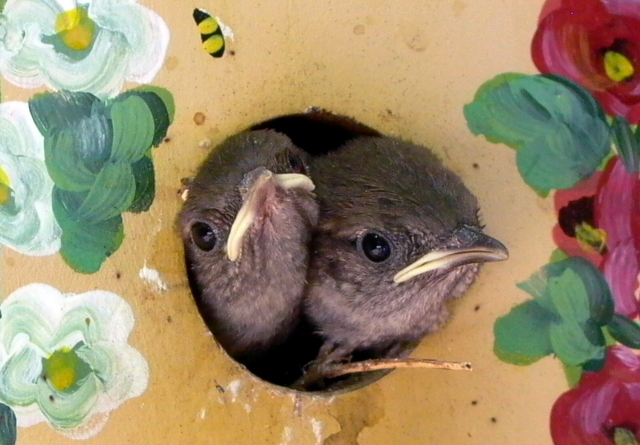 House wrens are ideal candidates for close-to-house nest boxes like this one hanging from a dogwood tree on thea patio of an Arlington townhouse. Creating Inviting Habitats contains a chart showing Nest Box Dimensions for various bird species. © Mary Free