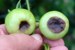Blossom end rot on tomatoes