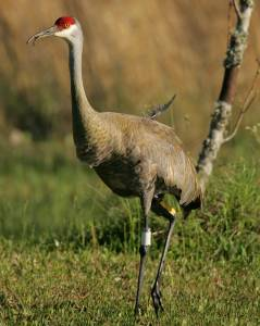 A beautiful sandhill crane stands in the Mississippi Sandhill Crane National Wildlife Refuge. Loss of crane habitat, due to the conversion of open pine savanna to pine plantations, aggravated its decline.7 Photo by Steve Hillebrand, U.S. Fish and Wildlife Service.