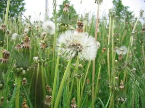 Weeds in Waterloo, Ontario