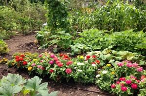 Zinnias and vegetables at Fort Barnard Community Garden