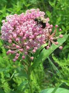 Asclepias incarnata (swamp milkweed) with bee. Photo © 2018 Elaine L. Mills Meadowlark Botanical Gardens.
