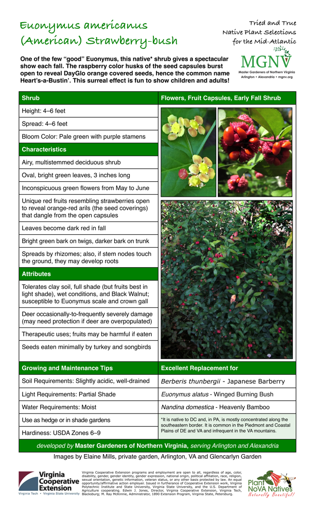 Euonymus americanus, Strawberry Bush: Early Fall Shrub; Height: 4–6 feet; Spread: 4–6 feet; Bloom Color: Pale green with purple stamens. Characteristics: Airy, multistemmed deciduous shrub; Oval, bright green leaves, 3 inches long; Inconspicuous green flowers from May to June; Unique red fruits resembling strawberries open to reveal orange-red arils (the seed coverings) that dangle from the open capsules; Leaves become dark red in fall; Bright green bark on twigs, darker bark on trunk; Spreads by rhizomes; also, if stem nodes touch the ground, they may develop roots. Attributes: Tolerates clay soil, full shade (but fruits best in light shade), wet conditions, and Black Walnut; susceptible to Euonymus scale and crown gall; Deer occasionally-to-frequently severely damage (may need protection if deer are overpopulated); Therapeutic uses; fruits may be harmful if eaten; Seeds eaten minimally by turkey and songbirds. Growing and Maintenance Tips; Soil Requirements: Slightly acidic, well-drained; Light Requirements: Partial Shade; Water Requirements: Moist; Use as hedge or in shade gardens; Hardiness: USDA Zones 6–9. Excellent Replacement for Berberis thunbergii - Japanese Barberry Euonymus alatus - Winged Burning Bush Nandina domestica - Heavenly Bamboo It is native to DC and, in PA, is mostly concentrated along the southeastern border. It is common in the Piedmont and Coastal Plains of DE and VA and infrequent in the VA mountains.