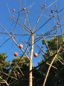 Ripening fruit on the persimmon tree after leaf drop in November. Photo © 2015 Elaine Mills