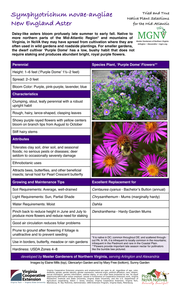 Symphyotrichum novae-angliae, New England Aster Perennial: Height: 1–6 feet ('Purple Dome' 11⁄2–2 feet); Spread: 2–3 feet; Bloom Color: Purple, pink-purple, lavender, blue. Characteristics: Clumping, stout, leafy perennial with a robust upright habit; Rough, hairy, lance-shaped, clasping leaves; Showy purple rayed flowers with yellow centers bloom on branch tips from August to October; Stiff hairy stems. Attributes: Tolerates clay soil, drier soil, and seasonal floods; no serious pests or diseases; deer seldom to occasionally severely damage; Ethnobotanic uses; Attracts bees, butterflies, and other beneficial insects; larval host for Pearl Crescent butterfly. Growing and Maintenance Tips: Soil Requirements: Average, well-drained; Light Requirements: Sun, Partial Shade; Water Requirements: Moist; Pinch back to reduce height in June and July to produce more flowers and reduce need for staking; Good air circulation reduces foliar problems; Prune to ground after flowering if foliage is unattractive and to prevent seeding; Use in borders, butterfly, meadow or rain gardens; Hardiness: USDA Zones 4–8. Excellent Replacement for Centaurea cyanus - Bachelor's Button (annual, Chrysanthemum - Mums (marginally hardy, Dahlia, Dendranthema - Hardy Garden Mums It is native in DC; common throughout DE; and scattered through- out PA. In VA, it is infrequent to locally common in the mountains; infrequent in the Piedmont and rare in the Coastal Plain. Flowers provide important late season nectar for pollinators.